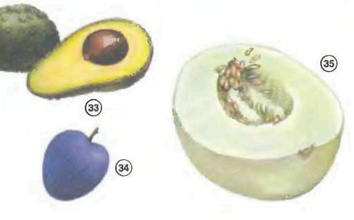 avocado <!  :en  >Fruits<!  :  > things english through pictures english through pictures