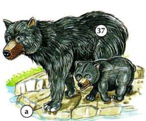 37. black bear a. claw