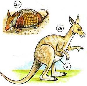 25. armadillo  26. kangaroo a. pouch