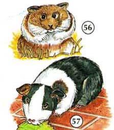 56. gerbil  57. guinea pig