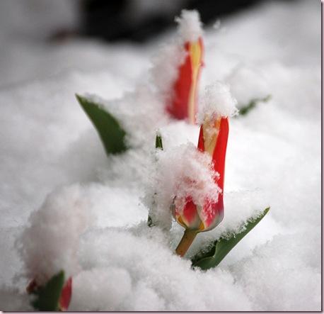 I_tulipani_imbiancati