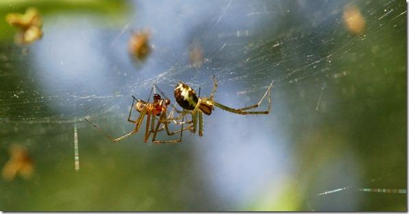 hämähäkit 023