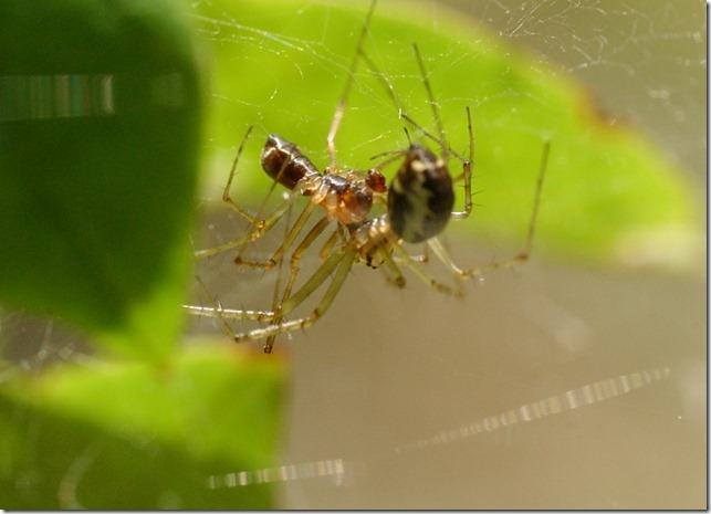 hämähäkit 080