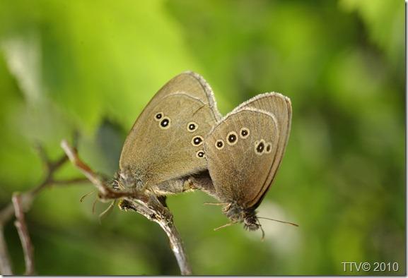 perhosia   064