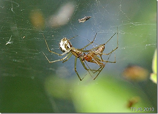 hämähäkit 089