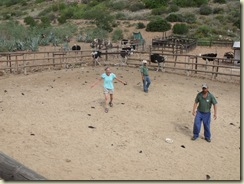 a4120 Gaelyn in ostrich pen Cango Ostrich Farm R328 Little Karoo Western Cape ZA