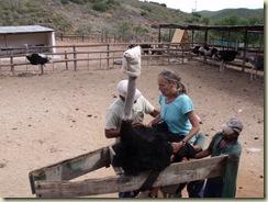 a4114 Gaelyn mounting ostrich in shute Cango Ostrich Farm R328 Oudtshoorn Little Karoo Western Cape ZA