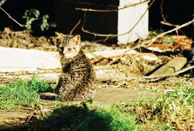 Feral Tabby Kitten Cat of the day