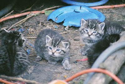 photo kittens, feral tabby kittens