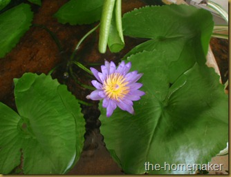 Violet water lily 2