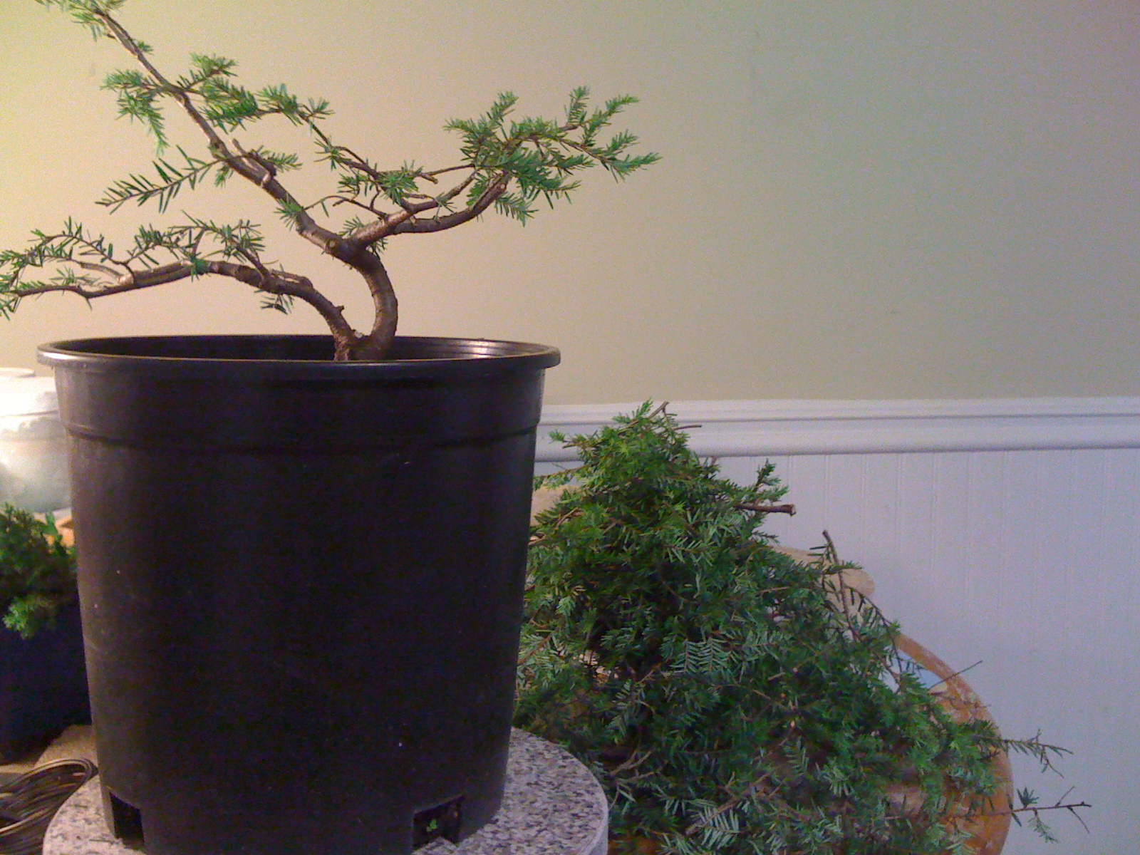 Bodhisattva Bonsai Canadian Hemlock Bonsai Takes Form