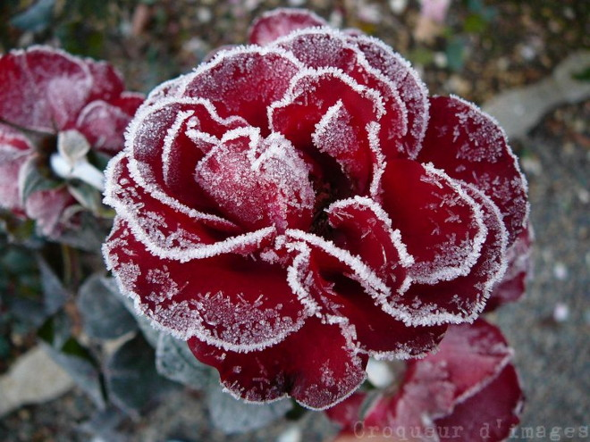 glace-rose-rouge
