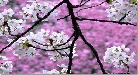 cherry_blossom_1600x1200[1]