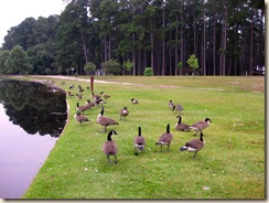 0Geese Abound