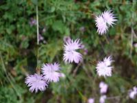 Clavelinas. Dianthus hyssopifolius Photo