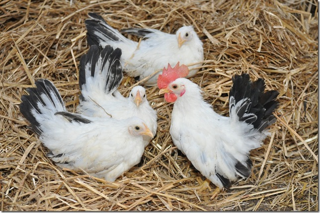 jap bantams