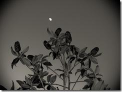 Yo quería fotografiar el magnolio pero la luna vino muy deprisa y ...Lástima que no tenía trípode.