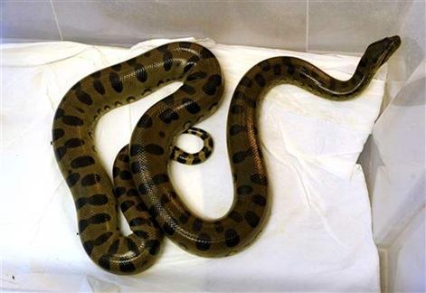 Cobra na privada