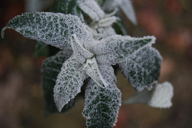 Frosty buddleia