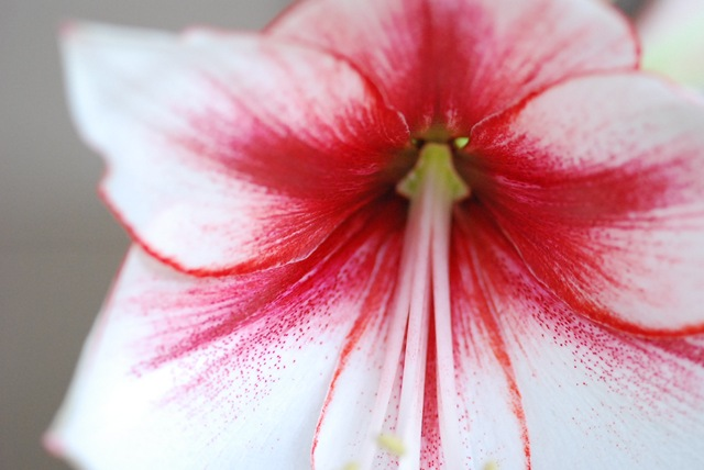Amaryllis Temptation centre