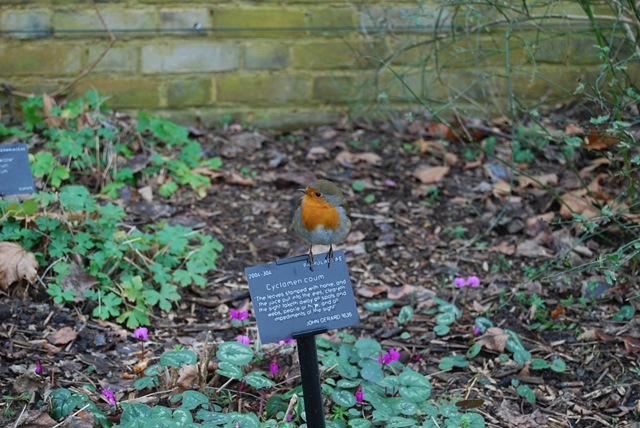 Kew robin and cyclamen