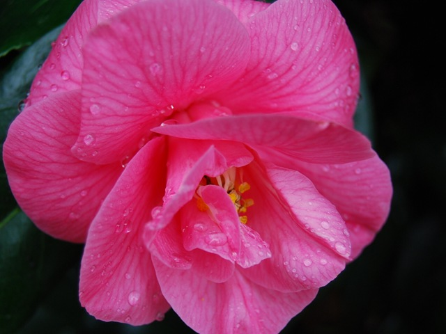 Kew pink camellia close-up