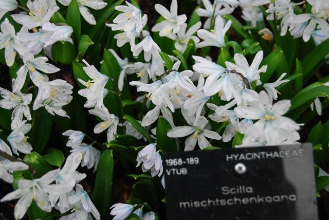 Kew scilla