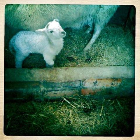 March - a lamb