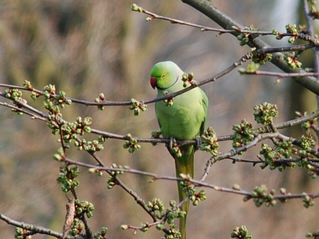 Parakeet in tree (2)