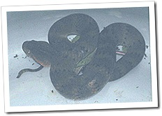 Live death adder at Rumginae, caught for the Australian Venom Research Unit research team in Port Moresby