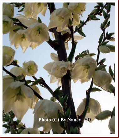 Yucca flower raindrop4