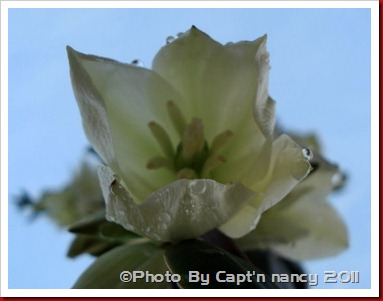 Yucca flower watered
