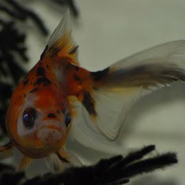 Goldie    The Goldfish by Richard Booysen - Animals Fish ( goldfish )