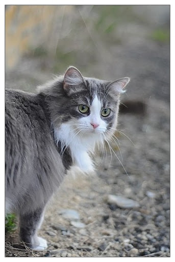 Première sortie dehors (chat) Outback