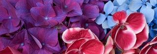 Hydrangea%20Blossoms
