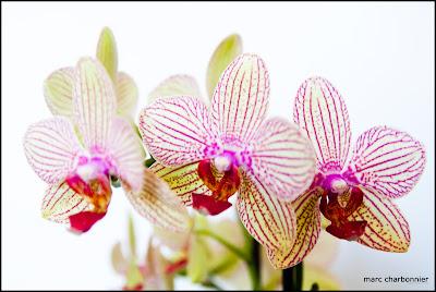 orchidées-mars-1.jpg