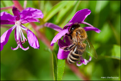 image abeille butineuse