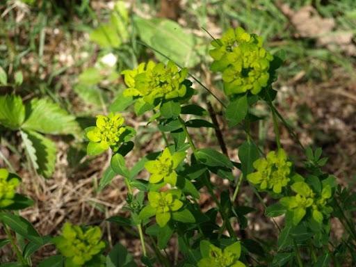 med-euphorbe-visoflora-22737