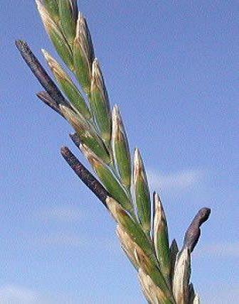 PLANCHES ANNOTEES ET ILLUSTREES DES PLANTES TOXIQUES. - Page 2 Claviceps