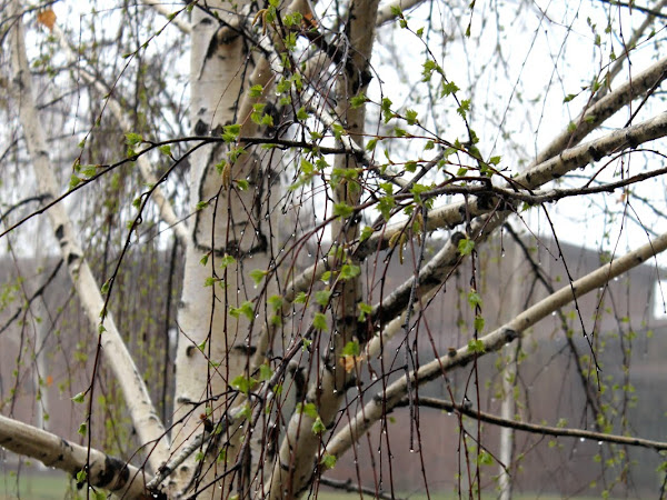 The Spring Journal: Spring Tree Study