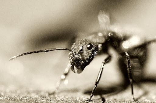 Ant_Closeup.n7atadTiiyGZ.jpg