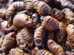 Silkworm_m