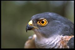 Little Sparrow Hawk