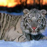 White_Tiger_Cub.jpg