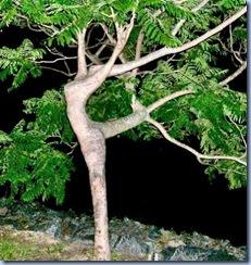dancin-tree