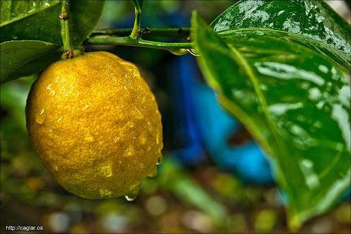 Yediveren limon