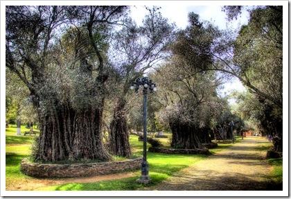 olive trees B