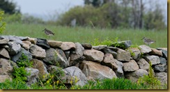 Willets on Staone Wall