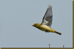 Scarlet Tanager female in Flight
