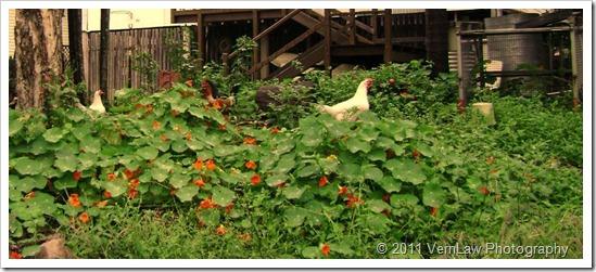Chickensdsco2036